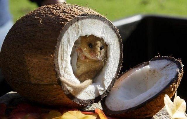 עכבר בקוקוס