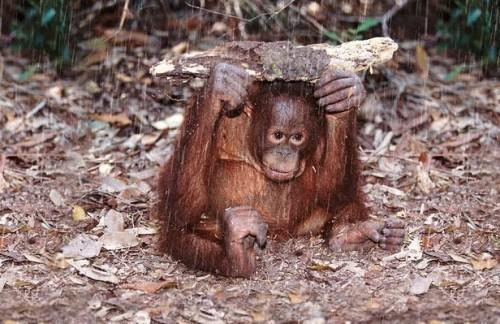 קוף ביוגה