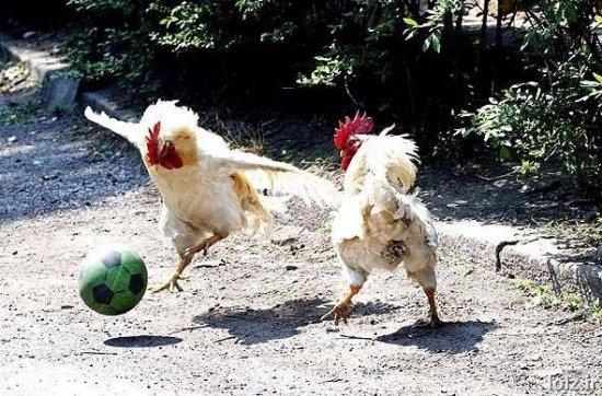 משחק תרנגולות