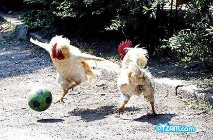 כדורגל תרנגולות