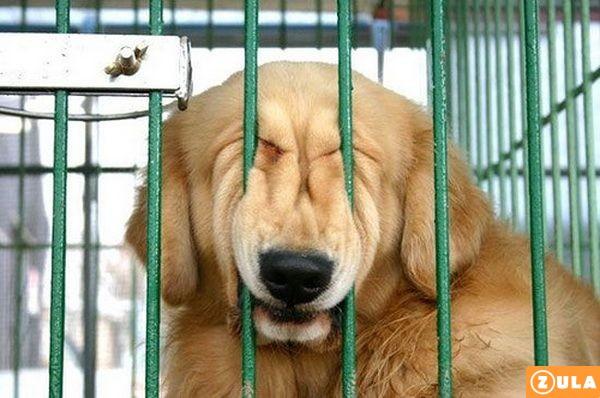 כלב סיני