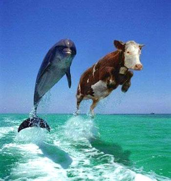 דולפין ופרה בים