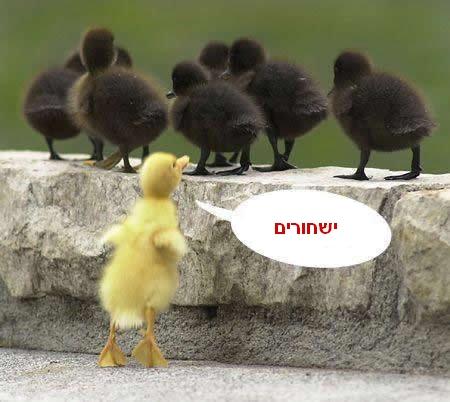 ברווז גזעני