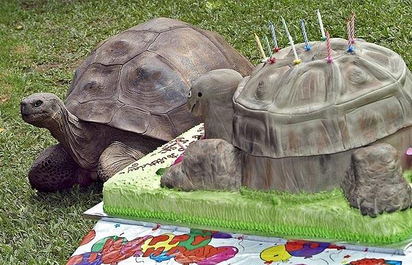 עוגה צבית