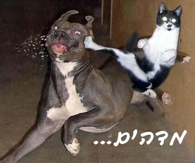 חתול קרטיסט