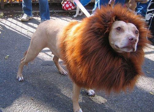 תחפושת מקורית - כלב שהתחפש לאריה