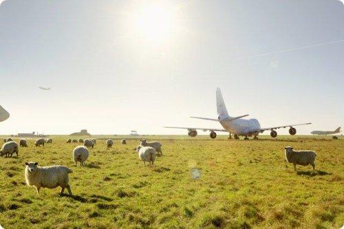 חיה חדשה בעדר הכבשים