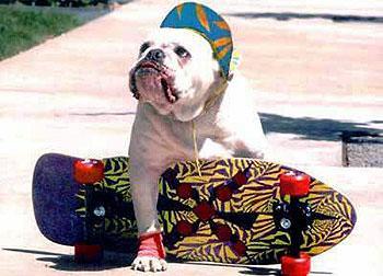 כלב בולדוג מוכן לגלוש