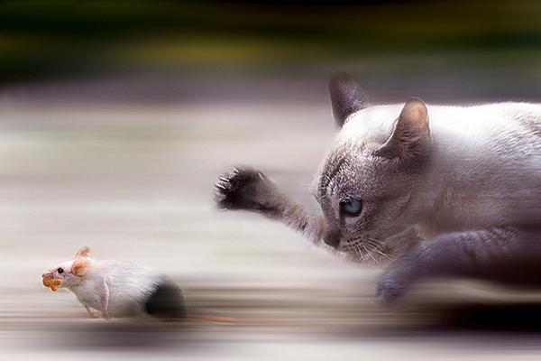 מרדף חתולי